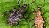 Eradicate  Weevils