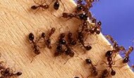 Eradicate  Ants