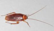 Eradicate  Cockroaches