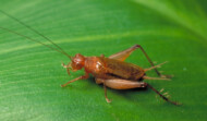Eradicate  Crickets