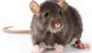 Eradicate  Rats